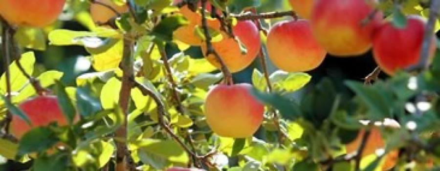 Hvilke frugttræer skal jeg vælge