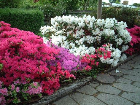 Anlæg et smukt Rhododendron-bed i din have.