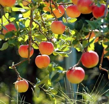 danske frugttræer