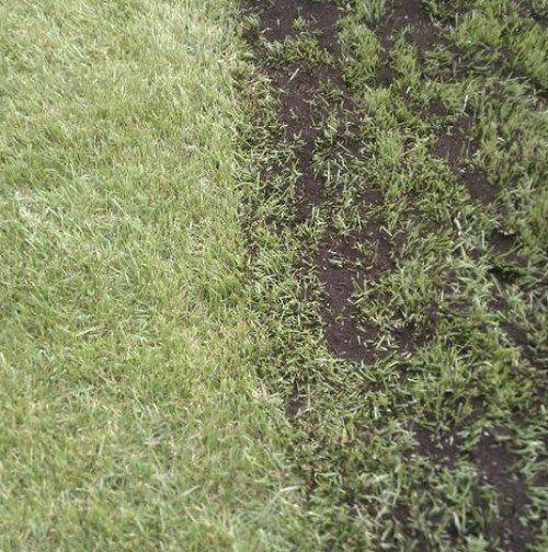 Plænedres og græsfrø